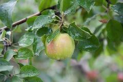 Gröna äpplen på en filial Arkivbild