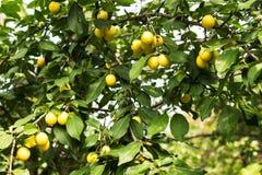 Gröna äpplen på ett träd i trädgården Arkivbild