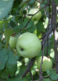 Gröna äpplen på filialen Royaltyfria Bilder