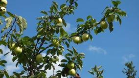 Gröna äpplen på filialer mot blå himmel stock video