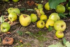 Gröna äpplen på golvet Arkivbilder