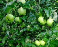 Gröna äpplen på trädet Royaltyfri Bild