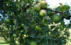 Gröna äpplen som växer på en trädfilial i äpplefruktträdgården fotografering för bildbyråer