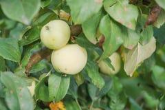 Gröna äpplen växer Äpplen växer i en trädgård Royaltyfria Foton
