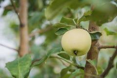 Gröna äpplen växer Äpplen växer i en trädgård Arkivbild