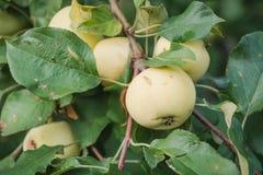 Gröna äpplen växer Äpplen växer i en trädgård Royaltyfri Bild