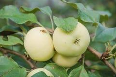 Gröna äpplen växer Äpplen växer i en trädgård Arkivbilder
