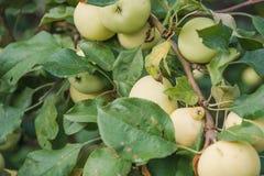 Gröna äpplen växer Äpplen växer i en trädgård Fotografering för Bildbyråer