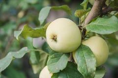 Gröna äpplen växer Äpplen växer i en trädgård Arkivfoto