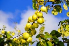 Gröna äpplen växer i trädgården Fotografering för Bildbyråer