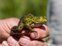 gröna ätliga grodor i en hand Royaltyfri Fotografi