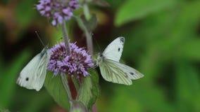 Gröna ådrade vita butterflys som samlar nektar från vattenmintkaramellen, blommar under sommar i Skottland stock video
