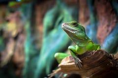 Gröna ödlor Arkivfoton