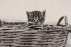 Gröna ögon av katten Arkivbilder