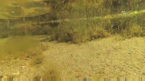 Gröna alger, liten fisk och skaldjur på botten på ett grunt djup Tiligulen Liman, Odessa Region lager videofilmer