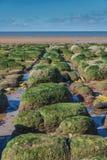 Gröna alger vaggar på vid havet på lågvatten Arkivfoto