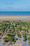 Gröna alger vaggar på vid havet på lågvatten Fotografering för Bildbyråer
