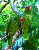 Gröna amazon papegojor arkivbilder