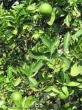 Gröna apelsiner är på ett träd fotografering för bildbyråer
