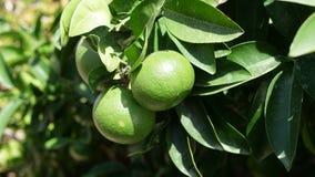 Gröna apelsiner i trädet Royaltyfria Foton