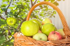 Gröna appples på trädet Vinrankakorg mycket av äpplen fotografering för bildbyråer