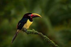 Gröna Aracari, Pteroglossus viridis, guling och svart liten touc Arkivfoto