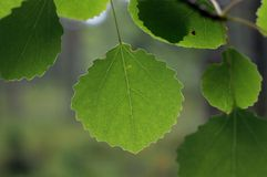 Gröna Aspen Leaves Royaltyfri Bild