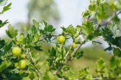 Gröna bärkrusbär på Bush Royaltyfri Foto