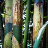 Gröna bambubusksnår Arkivfoton