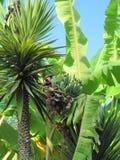 Gröna bananer är på ett träd gömma i handflatan arkivfoto