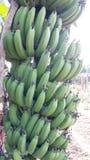 Gröna bananer Royaltyfri Foto