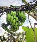Gröna bananer arkivfoton