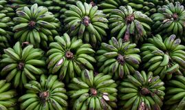 Gröna bananer i Uganda Royaltyfri Foto
