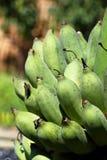 Gröna bananer samlar ihop rått Royaltyfria Bilder