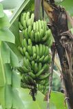 Gröna bananer, version 1 royaltyfri fotografi