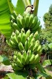 Gröna bananfrukter Arkivbild