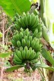 Gröna bananfrukter Fotografering för Bildbyråer