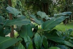 Gröna banansidor Royaltyfria Foton