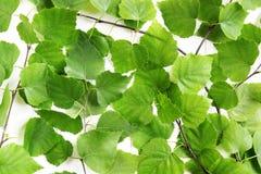 Gröna björksidor Arkivbilder