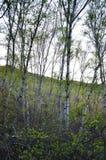 Gröna björkträd i skogen fotografering för bildbyråer