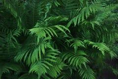 Gröna blad av ormbunken med regndroppar i tropiskt modell mot bakgrund field blåa oklarheter för grön vitt wispy natursky för grä Royaltyfri Fotografi