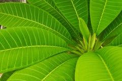 Gröna blad av plumeliaen Arkivbild