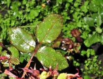 Gröna blad av steg med vattendroppar arkivfoto