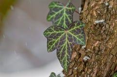 Gröna blad i vinter Arkivbilder