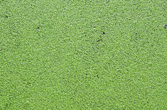 Gröna blad på vatten Arkivfoto