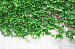 Gröna bladbakgrunder Royaltyfri Foto