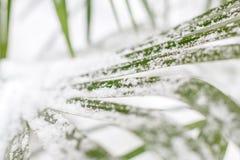 Gröna bladpalmträd i snö royaltyfri bild