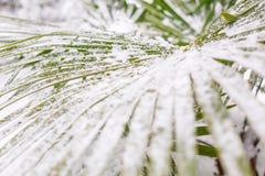 Gröna bladpalmträd i snö royaltyfria bilder