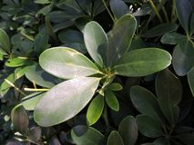 Gröna bladsidor Royaltyfria Bilder