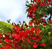 Gröna blom- knoppar och färgrika blommor av det flamboyan trädet Royaltyfri Fotografi